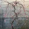 エデンの梅開花🌸