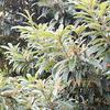 枇杷の花,ビワ Eriobotrya japonica