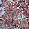 満開の桜を愛でながらウォーキング
