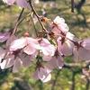 昼休みには、桜に会いに。