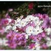 秋の名残を楽しんで③秋桜と柿編❁✨