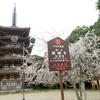 2020年(昨年)の京都3泊4日花見ソロ旅2日目 山科周辺 桜の醍醐寺他編