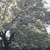 桜が散る季節!今年は早かったなー!