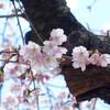 今日の景色 03/10 桜・花桃・山茱萸