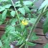 【水耕栽培】トマトとゴーヤに花が咲いた