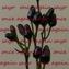 Capsicum annuum(観賞用 とうがらし 黒)