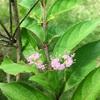 コムラサキ(小紫)とシロミノコムラサキ(白実の小紫)