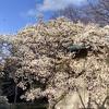 春を待つブルックリン植物園の日曜日