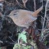 石神井公園の野鳥 ルリビタキ・ミソサザイ他 2020年12月25日