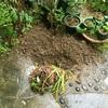玄関前の彼岸花掘り起こす 0525