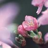 今日の誕生花「サクラ」全国サクラ祭りが始まる開花宣言の花!