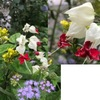 ゲンペイカズラ: ガクの白と花の赤の対比が美しい花を咲かせるシソ科の植物.ゲンペイクサギと呼ばれていたのですが使われなくなっています.漢字だと源平臭木.これでは使うのをためらいますね.クサギ属なので,このような名前に.同属の代表クサギは草木染めの世界では愛されているのに,葉が少し臭うだけなのにこの様なかわいそうな名前になったようです.