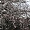 曇天の桜と、レアな⁈りす焼き