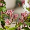 退蔵院の杜鵑草2018、見頃や開花状況。