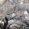'18 桜 朝日を受けて…(桜が丘通り)