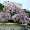 過去の桜の写真を、Windowsアプリ「ImageMagick」のヒストグラム平坦化で明るい感じにしてみた。