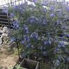 濃いブルーの花木:セアノサス(カリフォルニアライラック)の成長記録