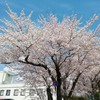 桜、城山公園