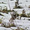 怒涛の3連チャン探鳥、秋ヶ瀬公園の野鳥/2018-1-27・28・29