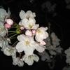 夜桜を観に、阪急崇禅寺駅へ…20190405