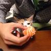 2016 10月 のら猫手術。 と小袖の里親さん内定