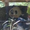 上野のパンダ リーリー