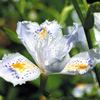 今日の誕生花「シャガ」地下茎で増えて群落で咲いてる上品な花!