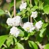 「佐久の季節便り」、「岩村田城址・土塁」の「山吹(やまぶき)」も咲いて…。
