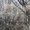 私市植物園の桜
