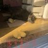 姉風飼い主ネェネ、甲斐犬サンと復活す!の巻〜+(●`(ェ)´*)9《復活mmm!!!!!!))+゚