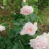 20180614(木曜日)  昨日の薔薇🌹そして空ほか