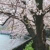 桜の週末。
