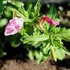 「佐久の季節便り」、「ツキミソウ(月見草)」の花弁が、ピンク色に萎む。