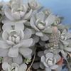 子持ちレンゲの花