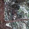 近所の森で今度はめっちゃめんこいエゾリスを撮ってきたよ!【1月24日撮影】