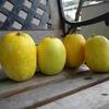 カボチャとまくわ瓜がお盆に合わせて収穫できました。