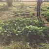 オルかな農園報告㉟~サトイモたくさん収穫したよ!~