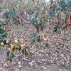 #16  秋、栗、柿 (干し柿の作り方)