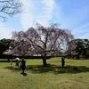 東大寺の春/幾種類もの桜で境内一円を荘厳。すこぶる評判のおかっぱしだれ桜は正倉院の前で咲いています。