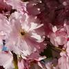 ドイツの桜