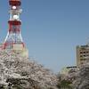 富山市中心街の桜風景