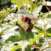 【蜂】近所のキイロスズメバチ