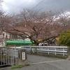 僕が神戸の桜の開花を観察している観測木です。