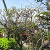 庭の花桃は、1本の木で、3種類、花が咲く‼