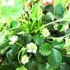 葉ネギの収穫とイチゴの人工授粉