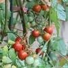 お誕生会~年中編~&トマトの収穫!