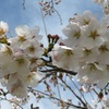 今年も桜がキター!!!(´∀`∩)キタワァ