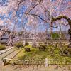 京都・京北 - 福徳寺の枝垂れ桜