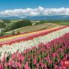 【観光】美瑛、花と麦に彩られた真夏の北海道を歩く、旭川美瑛を楽しむ絶景の旅