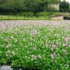 紫の絨毯!行田市水城公園のホテイアオイの見頃とアクセス【埼玉・行田市】